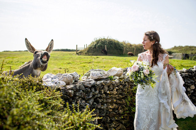 A donkey photobombs a bride on her wedding day. (Photo by Caters News Agency)