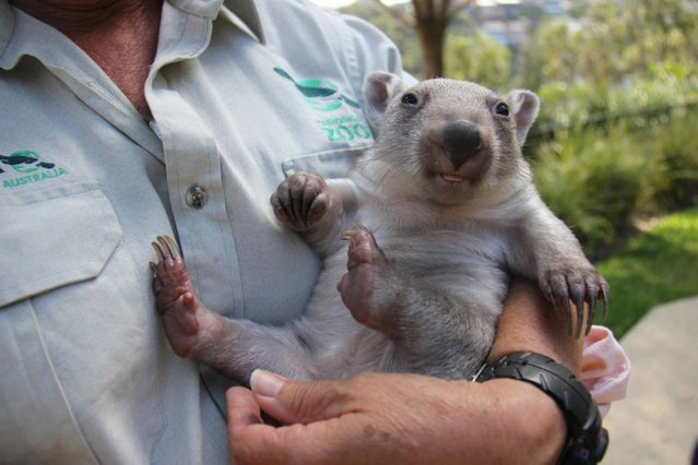 """An undated handout picture made available by the Taronga Zoo on 10 October 2014 shows orphaned wombat joey named """"Chloe"""", whose mother was struck and killed on a road near Jenolan Caves in the New South Wales Central Tablelands, at the Taronga Zoo in Sydney, Australia. Taronga Keeper, Evelyn Weston, has taken on the role of surrogate mum to the six-month-old joey, carrying a makeshift pouch and stopping work for bottle feeds every five hours. (Photo by EPA/Taronga Zoo)"""