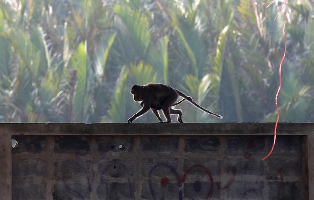 A long-tailed macaque with her baby walk along the top of a wall at a village in Bangkok, Thailand, September 21, 2015. (Photo by Chaiwat Subprasom/Reuters)