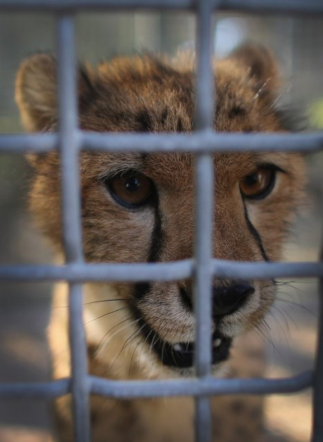 One of two nine-month old Cheetahs is seen after it was released into a quarantine facility at Zoo Miami on November 29, 2012 in Miami, Florida.  The two sub-adult brothers who arrived today were captive-born on March 6th of this year at the Ann van Dyk Cheetah Centre just outside of Pretoria South Africa. The Cheetahs after being monitored and examined for a minimum of 30 days to insure that they are healthy and stable, will be featured in Zoo Miami's Wildlife Show at the newly constructed amphitheater and will continue the work of Zoo Miami's Cheetah Ambassador Program by making appearances off zoo grounds at a variety of venues including schools and civic organizations.  (Photo by Joe Raedle)