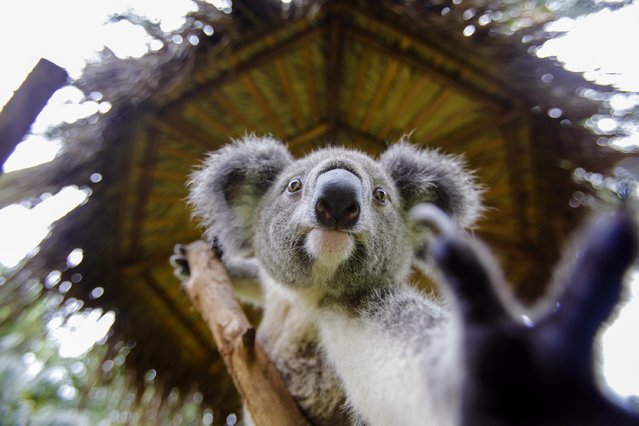 "A koala climbs on a tree at the zoo of ""Chimelong Paradise"", in Guangzhou, Guangdong province, October 15, 2014. (Photo by Alex Lee/Reuters)"