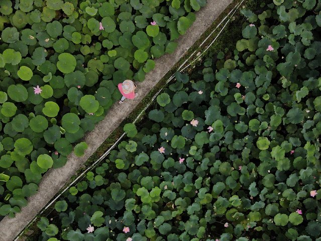 An aerial view shows a tourist walking among a lotus pond in Shuangxi district, in New Taipei City on July 2, 2020. (Photo by Sam Yeh/AFP Photo)