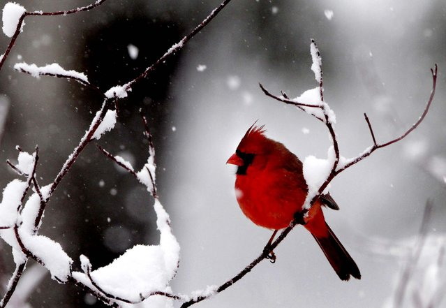 A male cardinal pauses on a snow-covered dogwood branch while searching for food during a wet and heavy snowfall Friday, February 25, 2011, in West Bath, Maine. (Photo by Pat Wellenbach/Associated Press)