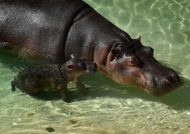 The Los Angeles Zoos female Hippopotamus named Mara stands beside her newborn calf (nameless at the moment) in their compound at the zoo in Los Angeles, California on November 4, 2014.  Mara went into labor on October 31 and gave birth to the healthy calf two and a half hours later. (Photo by Mark Ralston/AFP Photo)