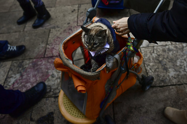 A pet is carried into Saint Pablo church during the feast of St. Anthony, Spain's patron saint of animals, in Zaragoza, northern Spain, Wednesday, January17, 2018. (Photo by Alvaro Barrientos/AP Photo)