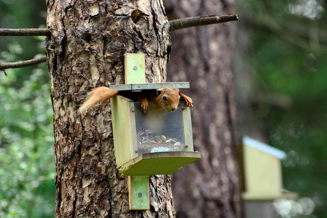'There's no nuts left'.  A squirrel in a feeding box. (Photo by John Brown/Comedy Wildlife Photography Awards/Mercury Press)