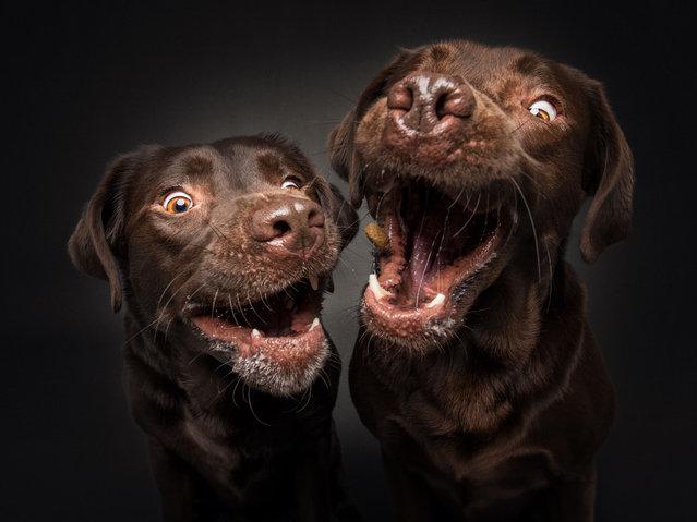 Labrador Retrievers. (Photo by Vieler Photography/Caters News Agency)