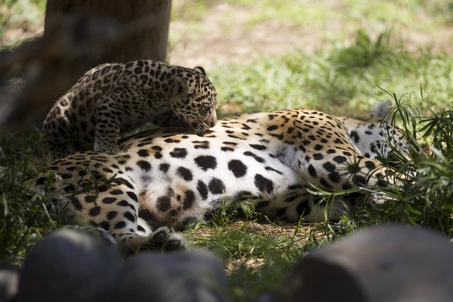 A cub climbs onto its mother, Tiara, a three-year-old jaguar, as she lies on her side at the Quito Zoo in Guayllabamba November 8, 2015. (Photo by Guillermo Granja/Reuters)