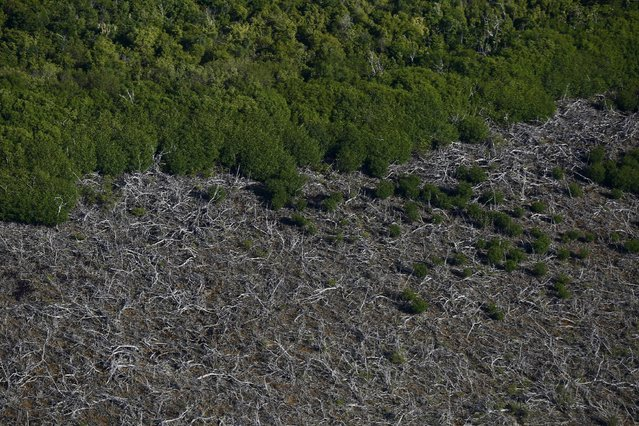 An aerial view of a mangrove swamp in Cancun, August 13, 2015. Due to mass tourism, Mexico has already lost 65 percent of its mangroves, according to environmental group Greenpeace, with more disappearing with each passing year. (Photo by Edgard Garrido/Reuters)