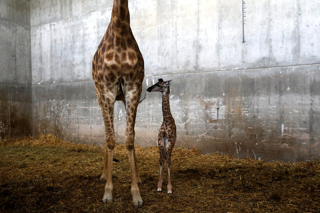 """Toy, a 10-day-old female giraffe named after Israeli singer Netta Barzilai's song """"Toy"""", winner of the 2018 Eurovision Song Contest, is seen with its mother Laila in their pen at Jerusalem's Biblical Zoo, May 21, 2018. (Photo by Ronen Zvulun/Reuters)"""