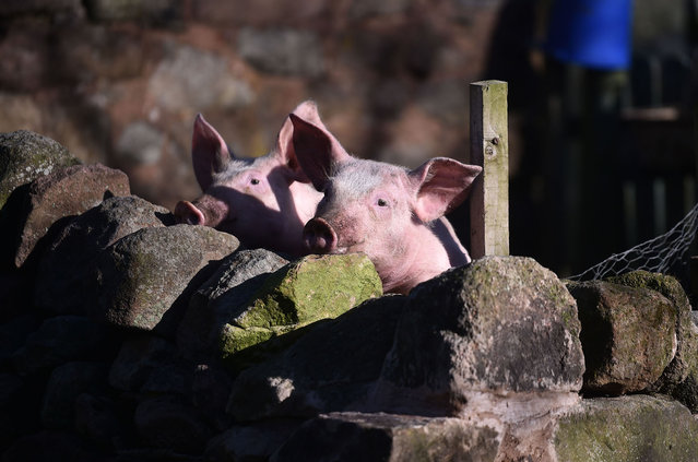 Free range pigs enjoys the sun at Biddulph Park on February 01, 2021 in , England. (Photo by Nathan Stirk/Getty Images)