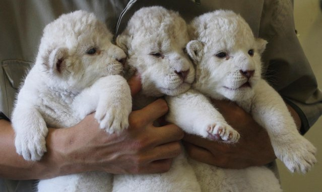 Nine-day-old lioness cubs are held by Zoo keepers at Himeji Central Park on July 9, 2013 in Himeji, Japan. The seven white lioness cubs, given birth by three female South African Lions were born on June 6th, 26th and 30th. The cubs will be on public display for the first time later this week. (Photo by Buddhika Weerasinghe/Getty Images)