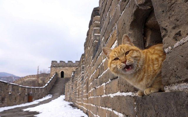 A cat sits on the empty Great Wall on February 23, 2021 in Beijing, China. Affected by the new coronavirus (COVID-19), the number of visitors to Mutianyu Great Wall in 2020 dropped by about 60%. (Photo by Lintao Zhang/Getty Images)