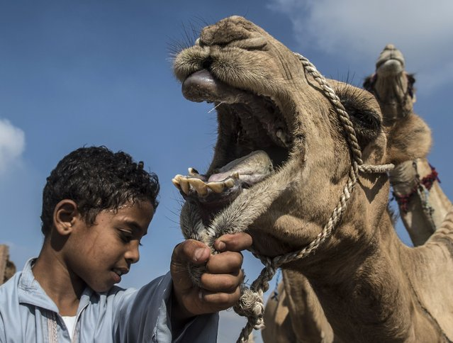 An Egyptian boy holds a camel at the Berqash camel market northeast of Cairo, on August 17, 2018. Muslims across the world are preparing for the Eid al-Adha holiday when custom requires the faithful to make a sacrifice. (Photo by Khaled Desouki/AFP Photo)
