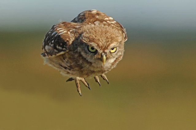 Little owl chicks in Northumberland, UK on August 19, 2018. Strutting up and down and barrelling through the air, these Little Owl chicks will soon be fending for themselves. The intense little birds were snapped by wildlife photographer Bill Doherty in his native Northumberland. The chicks have about seven or eight weeks to learn their survival skills before their parents drive them away to fend for themselves. (Photo by Bill Doherty/South West News Service)