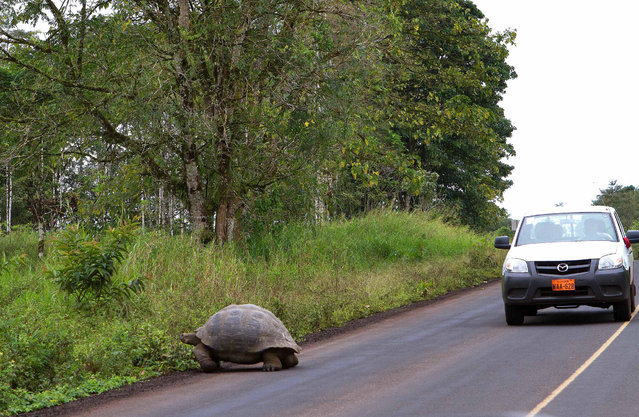 """""""Pay attention! Galapagos giant tortoise on the road!"""" (Photo by Cyro Masci)"""