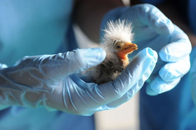 A British vet, volunteering at the Asha Foundation Animal Shelter and Hospital, examines a rescued young Cattle Egret on arrival at the shelter at Hathijan village, near Ahmedabad, India, on September 4, 2013. (Photo by Panthakysam Panthaky/AFP Photo)