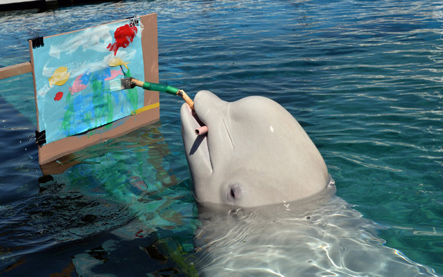 A Beluga paints a picture with a special paintbrush at the Hakkeijima Sea Paradise aquarium in Yokohama, suburban Tokyo on September 17, 2013. The aquarium will show the Beluga's new attraction from the end of this month. (Photo by Yoshikazu Tsuno/AFP Photo)