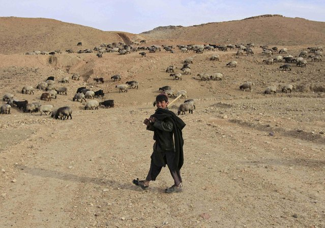 An Afghan shepherd guides his herd of sheep on the outskirts of Jalalabad Province, February 6, 2015. (Photo by Reuters/Parwiz)