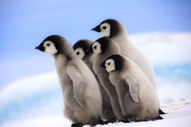 A raft of baby penguins. (Photo by Dafna Ben Nun/Caters News)