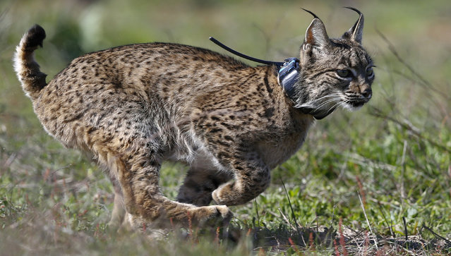 An Iberian lynx, a feline in danger of extinction, runs after being released as part of the European project Life Iberlince to recover this species in Donana National Park, southern Spain February 15, 2016. (Photo by Marcelo del Pozo/Reuters)