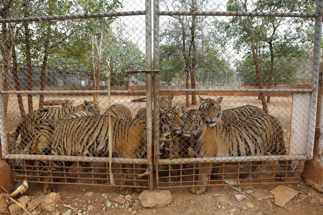Tigers are seen behind a fence at the Tiger Temple in Kanchanaburi province, west of Bangkok, Thailand, February 25, 2016. (Photo by Chaiwat Subprasom/Reuters)