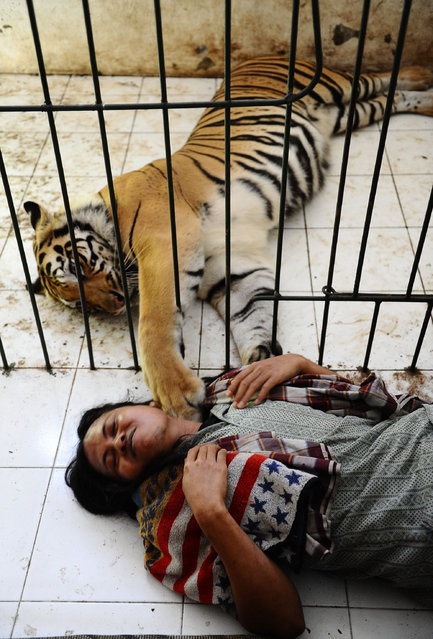 Abdullah Sholeh, 33, lies in the floor next to 6-year-old Bengal tiger Mulan Jamilah's  enclosure on January 20, 2014 in Malang, Indonesia. (Photo by Robertus Pudyanto/Getty Images)