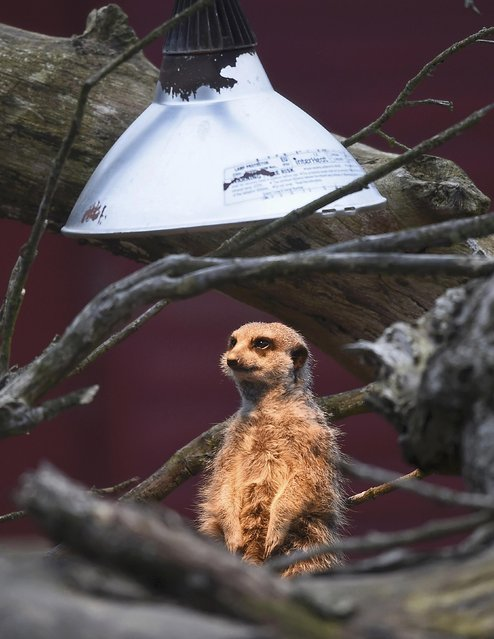 A meerkat sits under a heat lamp in it's outside enclosure at Marwell Zoo near Winchester in Britain, March 18, 2016. (Photo by Toby Melville/Reuters)
