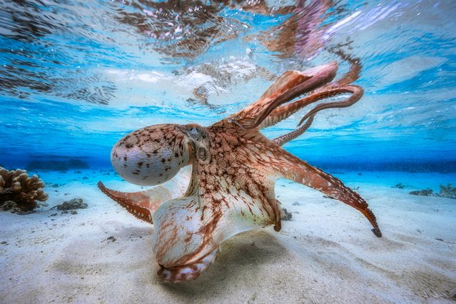 "Underwater photographer of the year – winner. Dancing Octopus by Gabriel Barathieu (France). Location: Island of Mayotte, off the coast of south-east Africa. ""Balletic and malevolent"", one judge said of this octopus, hunting in a lagoon. Barathieu waited until spring tides when there was just 30cm of water on the flats and plenty of light in the shallows. (Photo by Gabriel Barathieu/UPY2017)"