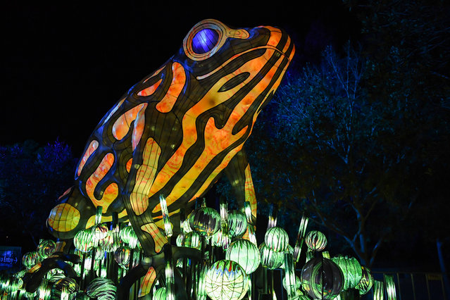 An illuminated lantern sculpture of a frog during the media preview of Vivid Sydney at Taronga Zoo on May 19, 2019 in Sydney, Australia. (Photo by James D. Morgan/Getty Images)