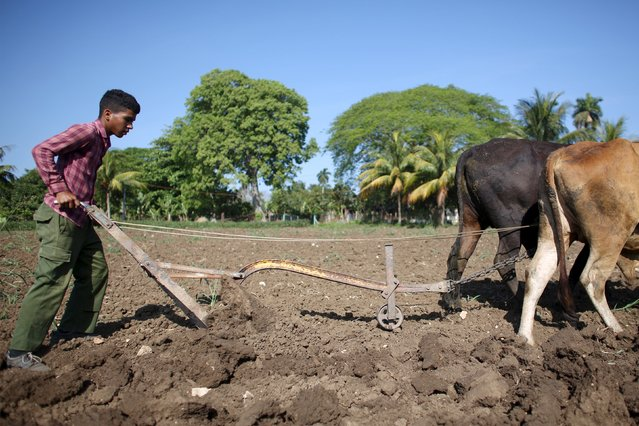 Farmer Lazaro Guerra, 14, guides oxen as he sows the land to plant pumpkins near San Antonio de los Banos in Artemisa province, Cuba, April 12, 2016. (Photo by Alexandre Meneghini/Reuters)