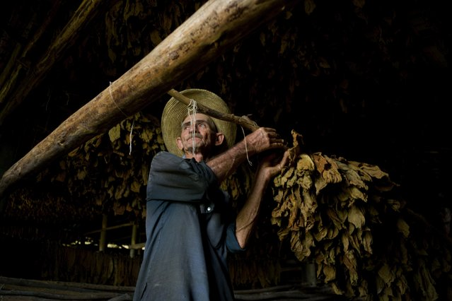 In this February 28, 2017 photo, a worker hangs tobacco leaves in a drying shed, at the Martinez tobacco farm in Cuba's western province Pinar del Rio. The tobacco leaves will be hung to dry for almost two months before being sent off for cleaning and eventually rolled into cigars. (Photo by Ramon Espinosa/AP Photo)