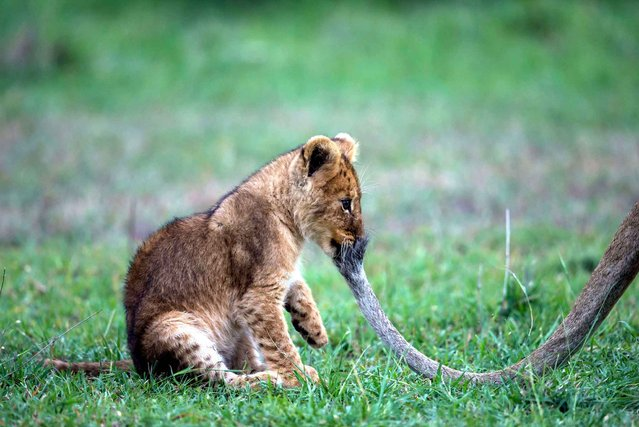 This scene between a cub and his mother was photographed in Kenya. (Photo by Paul Goldstein/Exodus/SIPA Press)