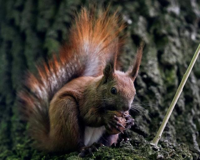A squirrel eats a nut in a park in Lviv, Ukraine, April 29, 2016. (Photo by Gleb Garanich/Reuters)