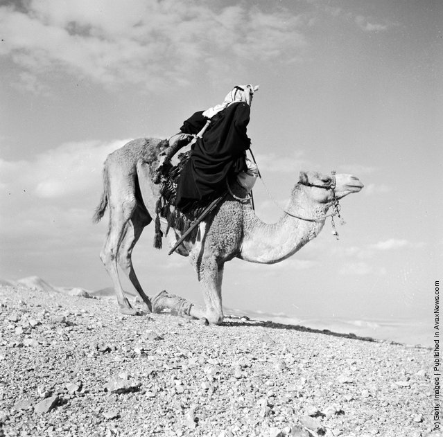 1950: A Bedouin in the process of dismounting a Camel which has knelt on its forelegs and is ready to buckle its hind legs