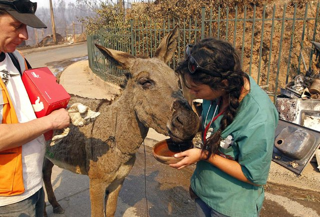 A volunteer gives a donkey water at the location where a forest fire burned several neighbourhoods in the hills in Valparaiso city, northwest of Santiago, April 13, 2014. At least 11 people were killed and 500 houses destroyed over the weekend by the fire that devastated parts of the Chilean port city of Valparaiso, as authorities evacuated thousands and sent in aircraft to battle the blaze. (Photo by Eliseo Fernandez/Reuters)