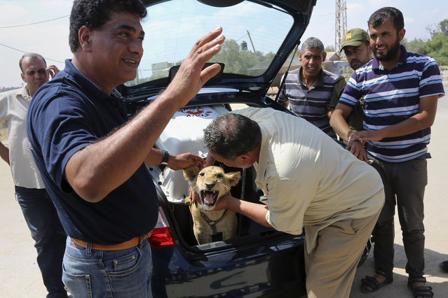 Saduldin Al-Jamal, 54, caresses Mona, the female lion cub, as Amir Khalil from the British Four Paws charity, left, talks to people gathered to see them off, as they wait to leave Gaza to the Erez border crossing between Israel and the Gaza Strip, in Beit Hanoun, in the northern Gaza Strip, Friday, July 3, 2015. (Photo by Adel Hana/AP Photo)
