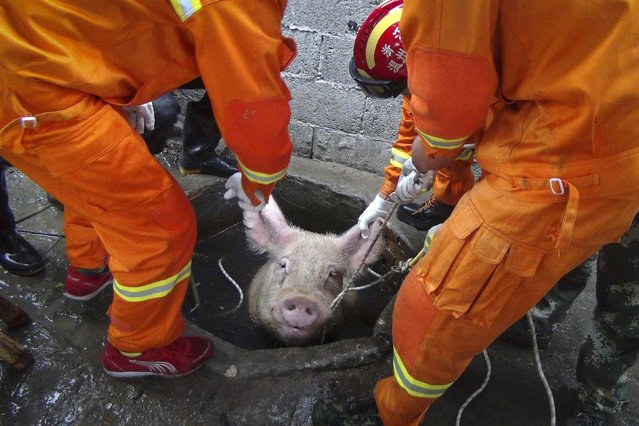 Firefighters pull a pig as they try to rescue it from a well at a pig farm in Huanghua township of Leqing, Zhejiang province, April 25, 2014. Seven local firefighters successfully rescued a 300 kg (661 lbs) pig which fell down a well on Friday morning, local media reported. (Photo by Reuters/China Daily)