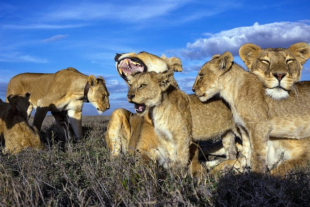 A pride of lionesses in the Serengeti . (Photo by Sony World Photography Awards)