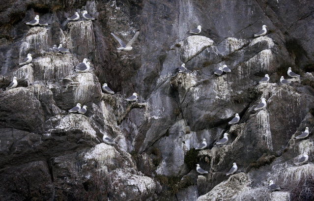 A colony of Black-legged Kittiwake seagulls tend to their chicks on a cliff near the south Greenland town of Narsaq July 28, 2009. (Photo by Bob Strong/Reuters)