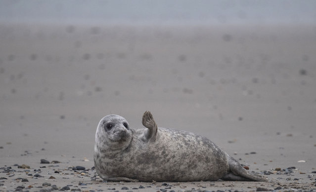 A young grey seal gestures as it lies on a beach on the North Sea island of Helgoland, Germany, on January 5, 2020. Hundreds of Grey Seals use the island to give birth to their pups, usually between the months of November and January. The pups, after 3 weeks of nursing, are then left to fend for themselves. 524 grey seal births have been recorded in the period from November 13 to December 26, 2019. (Photo by John MacDougall/AFP Photo)