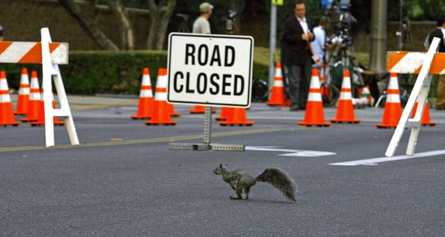 A squirrel passes a road block nearby Forest Lawn Memorial Park in Glendale, California September 3, 2009. (Photo by Mario Anzuoni/Reuters)