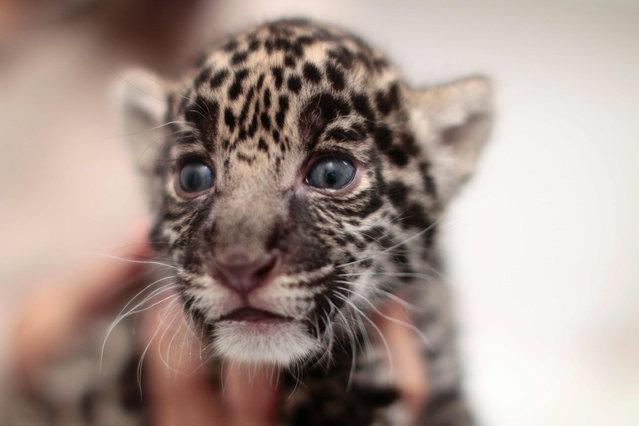 "A jaguar cub (Panthera onca) is held in arms at the ""Reino Animal"" zoo in Teotihuacan, Mexico state, on June 16, 2016. (Photo by Pedro Pardo/AFP Photo)"