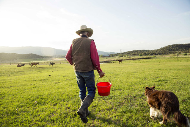 Cowboy David Thompson walks with his dog, Fang, to catch horses that he will use for a day of gathering cattle near Ignacio, Colorado June 11, 2014. The land where the cattle graze is leased from the Forest Service by third-generation rancher Steve Pargin. Several times a year, he and a crew led by his head cowboy, David Thompson, spend a week or more herding cattle from mountain range to mountain range to prevent them from causing damage to fragile ecosystems by staying in a single area too long. (Photo by Lucas Jackson/Reuters)