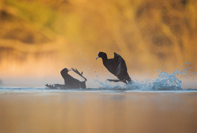 Coots fighting by Andrew Parkinson, Derbyshire, UK. Gold award winner in the bird behaviour category. Two common coots (Fulica atra) fighting in a dispute over territory, the backdrop illuminated by dawn sunlight. (Photo by Andrew Parkinson/2017 Bird Photographer of the Year Awards)