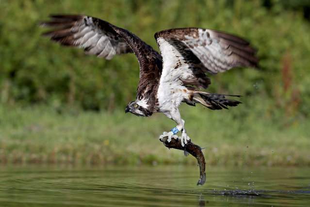 An Osprey catches a Rainbow Trout in a loch near Aviemore in the Cairngorms, England on June 25, 2018, as the birds are busy fishing at this time of year for their young. (Photo by Jane Barlow/PA Images via Getty Images)
