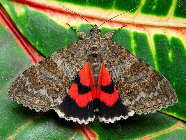 Pink Underwing Moth