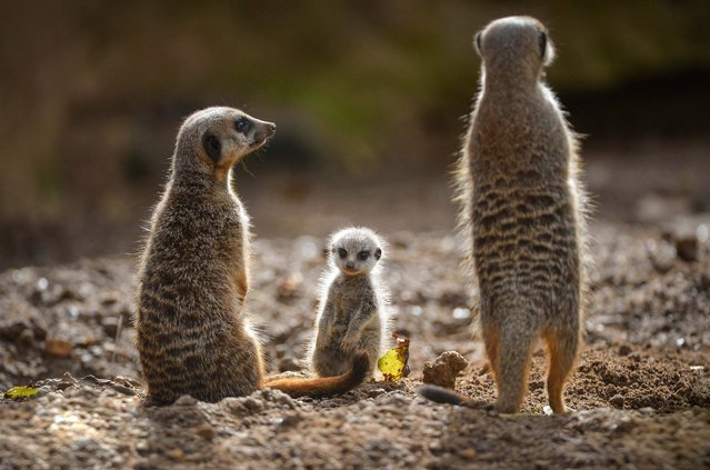 Undated handout photo issued by Chester Zoo of one of the four baby meerkats who have made their public debut at the zoo, with their mother (left). The pups were born in August but have only just started to show their faces as their parents have kept them well protected in their burrows until now. (Photo by Steve Rawlins/Chester Zoo/PA Wire)