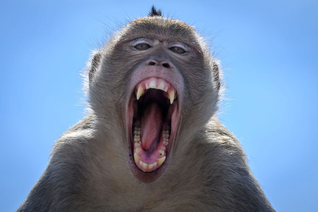 This picture taken on June 20, 2020 shows a longtail macaque baring its teeth in the town of Lopburi, some 155km north of Bangkok. Lopburi's monkey population, which is the town's main tourist attraction, doubled to 6,000 in the last three years, forcing authorities to start a sterilisation campaign. (Photo by Mladen Antonov/AFP Photo)