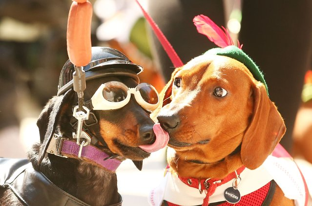 Chilli dressed as a biker dog licks Bangers (R) as they compete in the Hophaus Southgate Inaugural Best Dressed Dachshund on September 19, 2015 in Melbourne, Australia. (Photo by Scott Barbour/Getty Images)